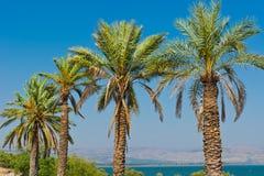 Daktylowe palmy fotografia royalty free