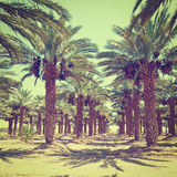 Daktylowe palmy zdjęcia stock