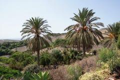 daktylowe palmy Obraz Stock