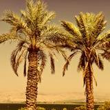 daktylowe palmy zdjęcia royalty free