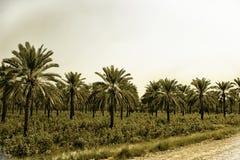 Daktylowe palmy & Bawełniana uprawa fotografia royalty free