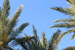 Daktylowe palmy Przyglądające W górę niebieskiego nieba w ranku z zdjęcie royalty free