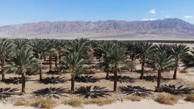 Daktylowe plantacji palmy zbiory