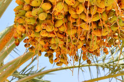 Daktylowej palmy światło słoneczne na natury tle obraz stock