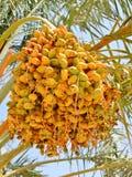 Daktylowej palmy światło słoneczne na natury tle Fotografia Stock