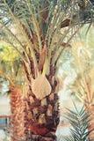 Daktylowej palmy zakończenie w górę fotografii Zdjęcie Stock