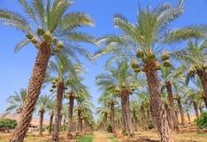 daktylowi drzewka palmowe Zdjęcie Royalty Free