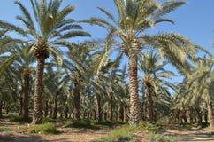 Daktylowi drzewka palmowe Obraz Stock