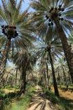 Daktylowi drzewka palmowe Obrazy Stock
