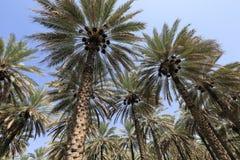 Daktylowi drzewka palmowe fotografia royalty free