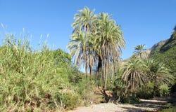 Daktylowi drzewka palmowe w Afryka Zdjęcie Royalty Free