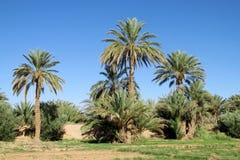 Daktylowi drzewka palmowe w Afryka Fotografia Royalty Free