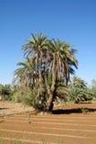 Daktylowi drzewka palmowe w Afryka Obraz Stock