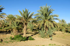 Daktylowi drzewka palmowe w Afryka Zdjęcie Stock