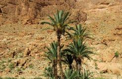 Daktylowi drzewka palmowe w Afryka górach Zdjęcia Royalty Free