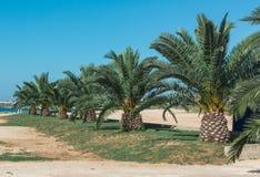 daktylowy Africa drzewko palmowe Tunisia fotografia stock