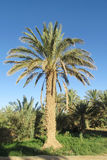 daktylowy Africa drzewko palmowe Tunisia Zdjęcie Royalty Free