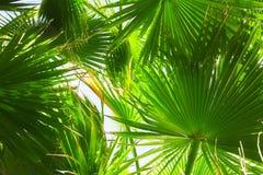 daktylowy drzewko palmowe Obraz Royalty Free