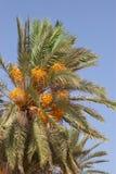 daktylowy drzewko palmowe Zdjęcie Stock
