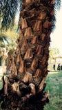 daktylowy drzewko palmowe Obrazy Stock
