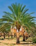 daktylowy drzewko palmowe Obraz Stock