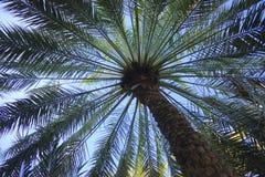 Daktylowy drzewko palmowe spod spodu obraz royalty free