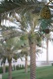 Daktylowy drzewko palmowe w ogr?dzie zdjęcia stock