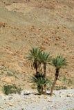 Daktylowy drzewko palmowe w pustynnych górach Zdjęcie Stock