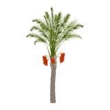 Daktylowy drzewko palmowe z owoc Zdjęcia Royalty Free