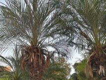 Daktylowy drzewo Zdjęcia Stock
