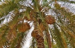 Daktylowy drzewo Fotografia Stock