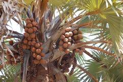 Daktylowy drzewo w Afryka Zdjęcie Stock