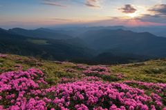Dal prato inglese coperto di rododendri rosa meravigliosi la vista pittoresca è aperta alle alte montagne, la valle, cielo rosa Fotografie Stock Libere da Diritti