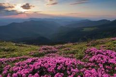 Dal prato inglese coperto di rododendri rosa meravigliosi la vista pittoresca è aperta alle alte montagne, la valle, cielo rosa Fotografia Stock