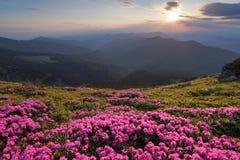 Dal prato inglese coperto di rododendri rosa meravigliosi la vista pittoresca è aperta alle alte montagne, la valle, il cielo ros Immagini Stock