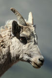 Dal Sheep Royalty Free Stock Photography