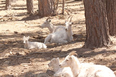 Dal sheep in the pines. A group of Dal sheep laying in the pines Royalty Free Stock Image