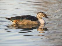 Dal van Anatra bernoccolo (melanotos Sarkidiornis) Stock Foto