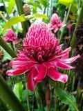 Dala花、红色花、火炬姜或者花在庭院里开花 免版税库存图片