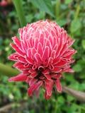 Dala kwiat, czerwony kwiat, pochodnia imbir lub kwiat, kwitniemy w t Obrazy Stock