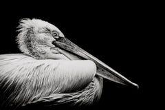 Dalamtian Pelican Stock Photo