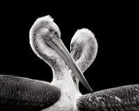 Dalamtian Pelicans Stock Images