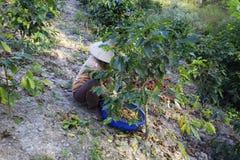 Dalat, Βιετνάμ - 20 Δεκεμβρίου 2015 - Farmer με ένα καλάθι που συγκομίζει τον κόκκινο καφέ όντας Στοκ εικόνα με δικαίωμα ελεύθερης χρήσης
