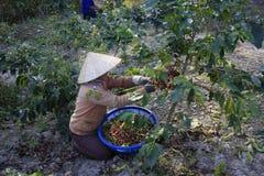 Dalat, Βιετνάμ - 20 Δεκεμβρίου 2015 - Farmer με ένα καλάθι που συγκομίζει τον κόκκινο καφέ όντας Στοκ φωτογραφία με δικαίωμα ελεύθερης χρήσης