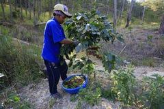 Dalat, Βιετνάμ - 20 Δεκεμβρίου 2015 - Farmer με ένα καλάθι που συγκομίζει τον κόκκινο καφέ όντας Στοκ Εικόνες