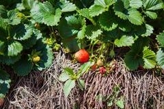 DALAT, ΒΙΕΤΝΆΜ - 17 Φεβρουαρίου 2017: Αγρόκτημα γεωργίας του τομέα φραουλών Στοκ Εικόνες
