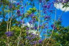 DALAT, ΒΙΕΤΝΆΜ - 17 Φεβρουαρίου 2017: Τα λουλούδια Jacaranda ανθίζουν στο προαύλιο ενός όμορφου σπιτιού άνοιξη σε Dalat, Βιετνάμ Στοκ Φωτογραφίες