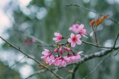 DALAT, ΒΙΕΤΝΆΜ - 17 Φεβρουαρίου 2017: Το λουλούδι άνοιξη, όμορφη φύση με την άνθιση sakura στο δονούμενο ροζ, άνθος κερασιών είνα Στοκ Φωτογραφίες