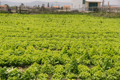 Dalat, Вьетнам, 19-ое апреля 2016: поле салата Стоковые Фотографии RF