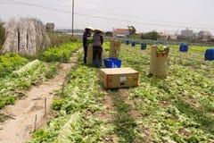 Dalat, Вьетнам, 19-ое апреля 2016: Фермер жать салат на сохраненный Стоковые Фото